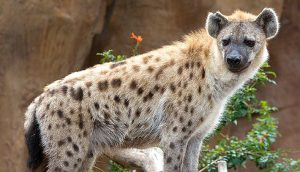 Spotted Hyena. Photo by Nic Bishop