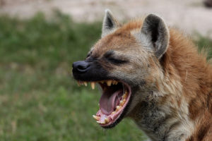 hyena mouth