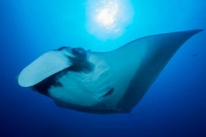 Up Next: Manta Rays. In June Sy will be joining an expedition off Peru which is studying these beautiful creatures.