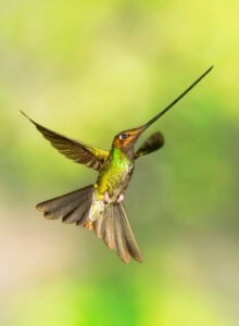The sword-billed hummingbird takes the long hummingbird beak to extremes. It's reported to be the only species with a bill longer than its body.